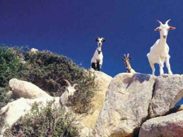 Latte di capra, antico elisir di salute e bellezza