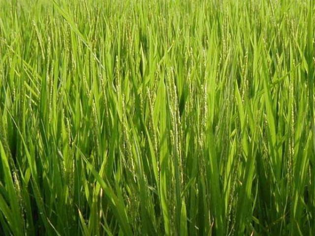 Alimento salutare il riso è anche un alleato per la bellezza della pelle