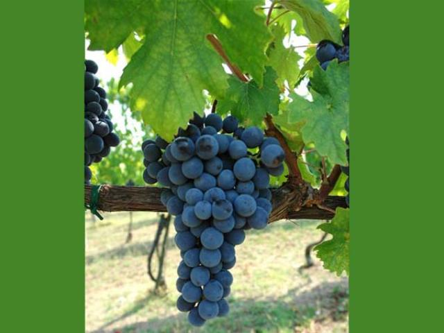 Pentro d'Isernia vino dei Sanniti
