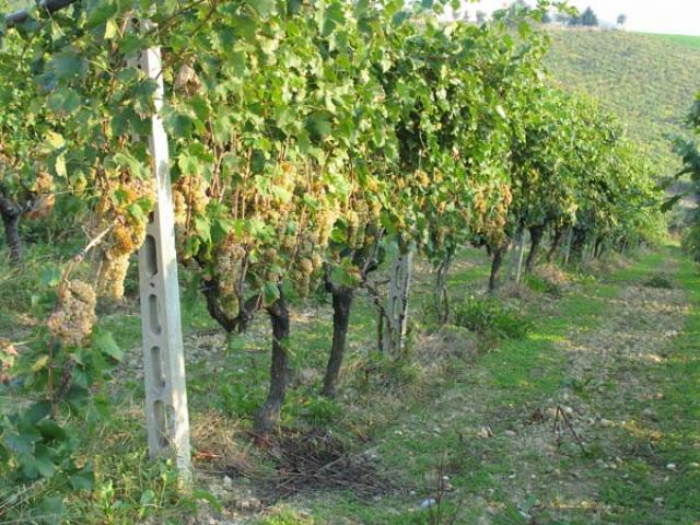 Vignanello il vino di Viterbo