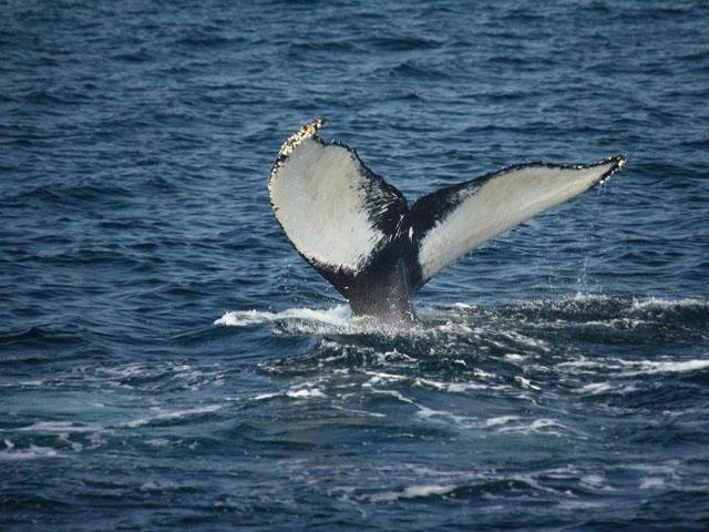 Far vela nel Santuario dei Cetacei