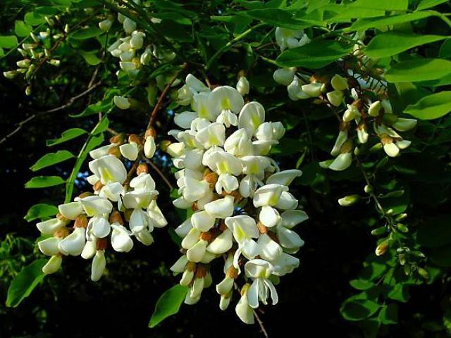 Miele di acacia: il migliore del mondo si produce a Pavia