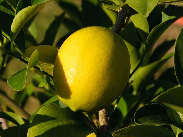 Dal lontano Oriente i limoni di Siracusa
