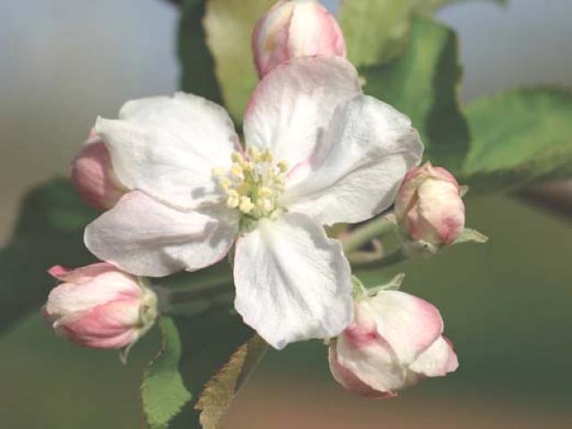 Il melo Noi unci, tesoro di Gallura