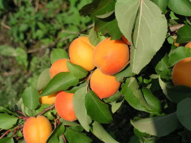 Non solo mele: le gustose albicocche bio della Val Venosta