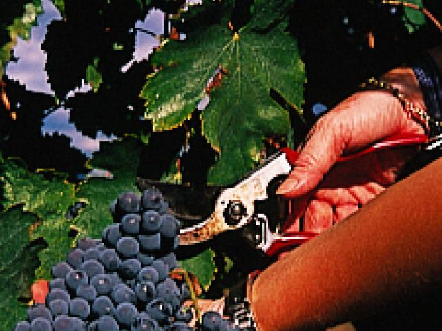 Vino Rosso Piceno