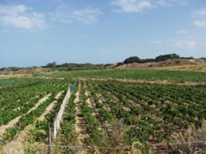 Filari delle vigne