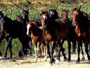 Consorzio Gusta La Maremma_cavalli liberi