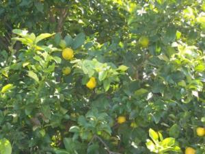 Alberi di limone