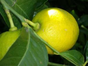Frutto di limone