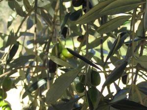 Olive pronte per la raccolta
