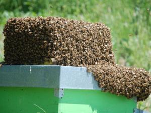 Arnia con api in cerca della regina