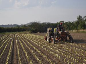 Il contadino trapianta l'insalata
