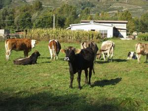 Le mucche